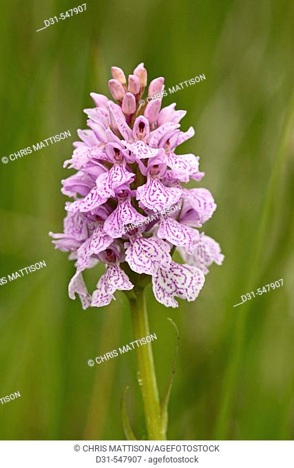 Heath Spotted Orchid, Dactylorhiza maculata, Grass Point, Mull, Scotland