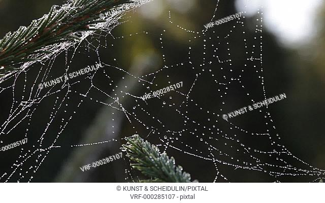 Sunlight glitters in thousands of dewdrops on a spider's web in autumn. Noraström, Västernorrlands Län, Sweden