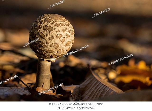 Mushroom at Lousã Mountain, Portugal