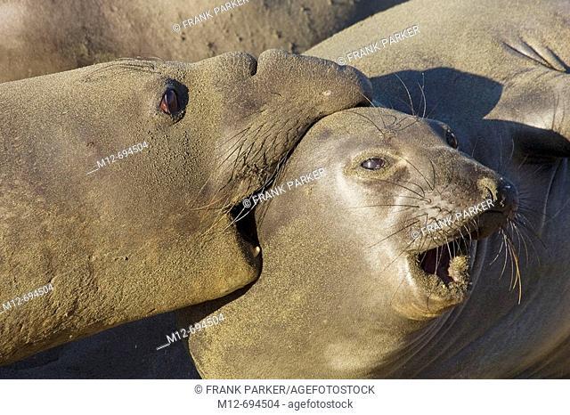 Elephant Seals mate on San Simeon Beach  California, USA