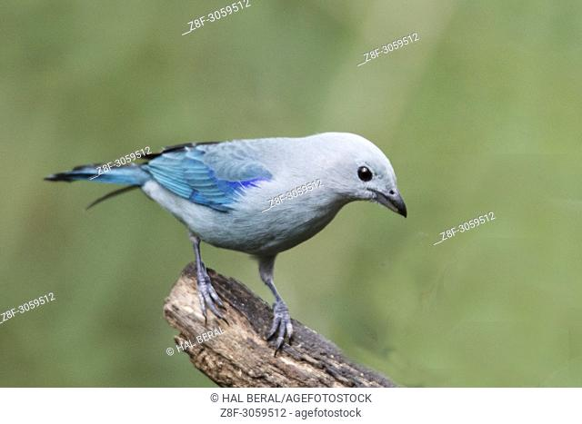 Blue-Gray Tanager (Thraupis episcopus). Ecuador