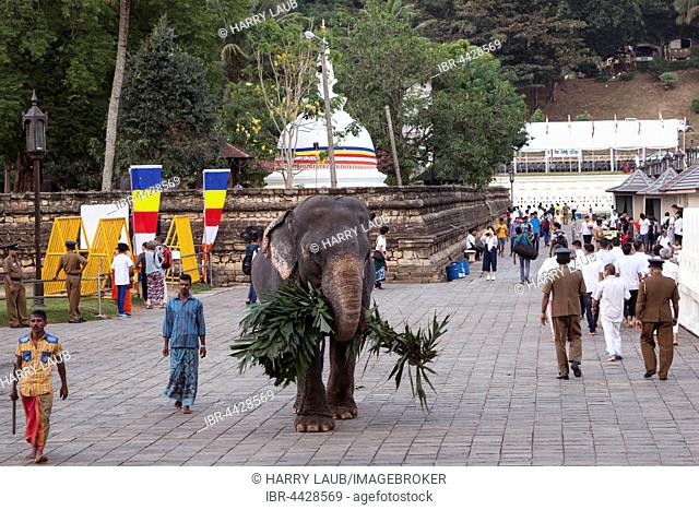 Indian elephant (Elephas maximus), working, Temple of the Sacred Tooth Relic, people in courtyard, Kandy, Central Province, Sri Lanka