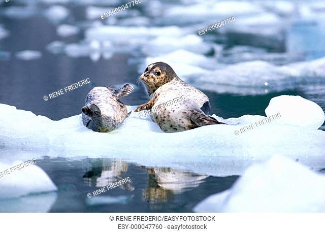 Harbor Seal (Phoca vitulina), pup on ice flow. Le Conte Glacier, Alaska, USA