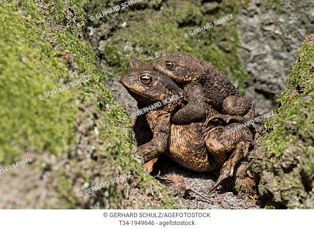 Common Toad, Bufo bufo,Schleswig-Holstein, Germany