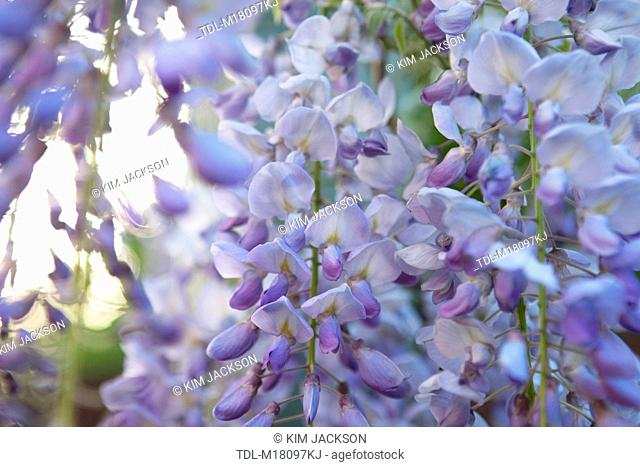 Wisteria flowers hanging from a pergola, close up