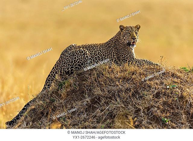 Leopard scannong the Mara Plaind on top of an ant hill. Masai Mara National Reserve, Kenya