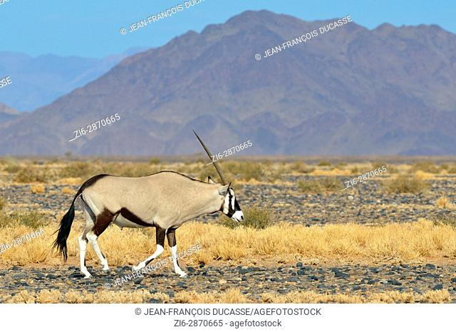 Male Gemsbok (Oryx gazella) walking, view from the road leading to Sossusvlei, Namib-Naukluft National Park, Namibia, Africa
