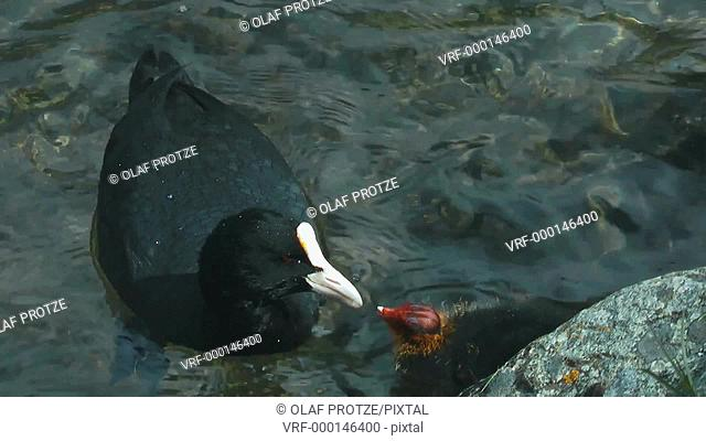 Mother coot feeding its chicken on the open water