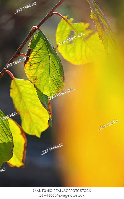 Yellow leaves of plum, Almansa, Albacete
