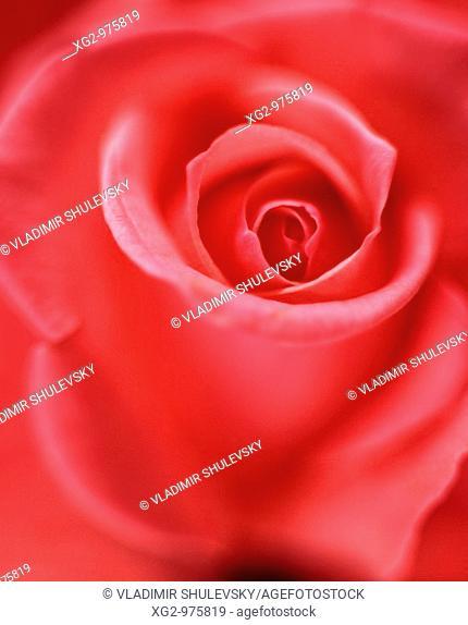 Pink panther rose close-up