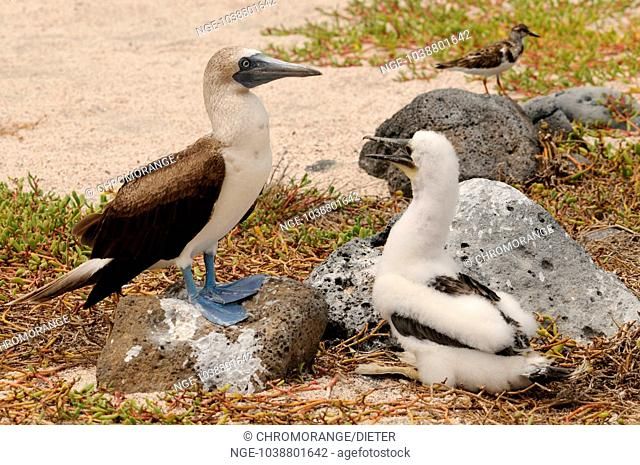 young blue-footed boobies