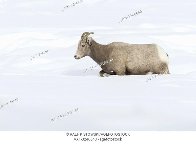 Rocky Mountain Bighorn Sheep / Dickhornschaf ( Ovis canadensis ) in winter, female adult, walking through deep snow, Yellowstone National Park, Wyoming, USA
