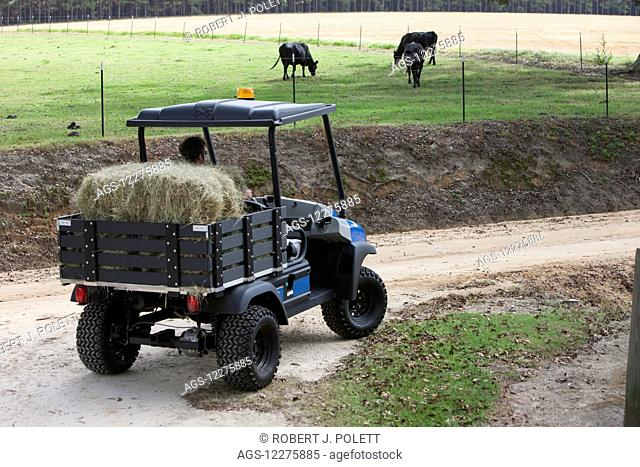 Farmer delivering hay to beef cattle with utility vehicle; Hahira, Georgia, United States of America