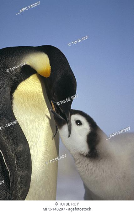 EMPEROR PENGUIN, (Aptenodytes forsteri) PARENT FEEDING CHICK, RIISER-LARSEN ICE SHELF, WEDDELL SEA, ANTARCTICA
