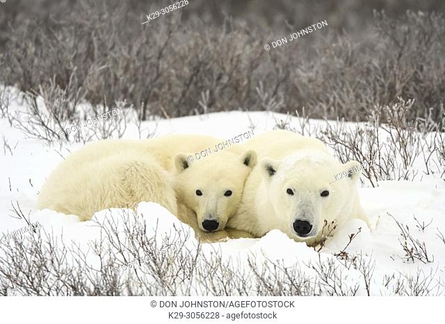 Polar Bear (Ursus maritimus) Mother and yearling cub resting along the Hudson Bay coast, Wapusk NP, Cape Churchill, Manitoba, Canada