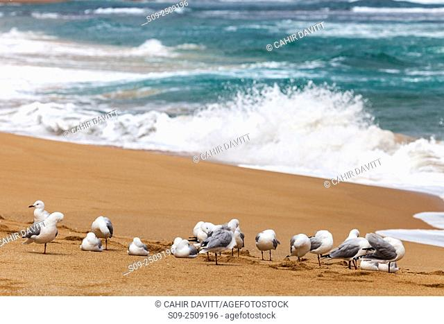 Silver gulls (Chroicocephalus novaehollandiae) on Gibsons Beach and the 12 Apostles National Marine Park, Port Campbell National Park, Princetown, Victoria