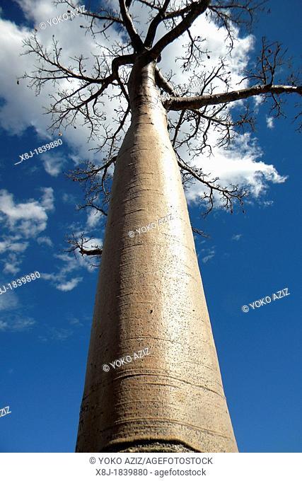 Madagascar, surrounding of Fort Dauphin, baobab
