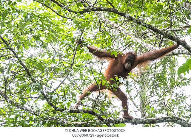 Orang-utan, Semengok Wildlife Centre, Sarawak, Malaysia