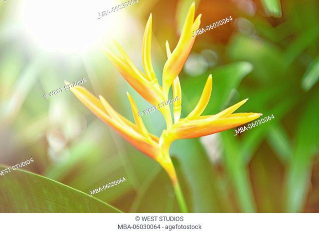 bird-of-paradise, countryside, Strelizia reginae, Fam: bird-of-paradise