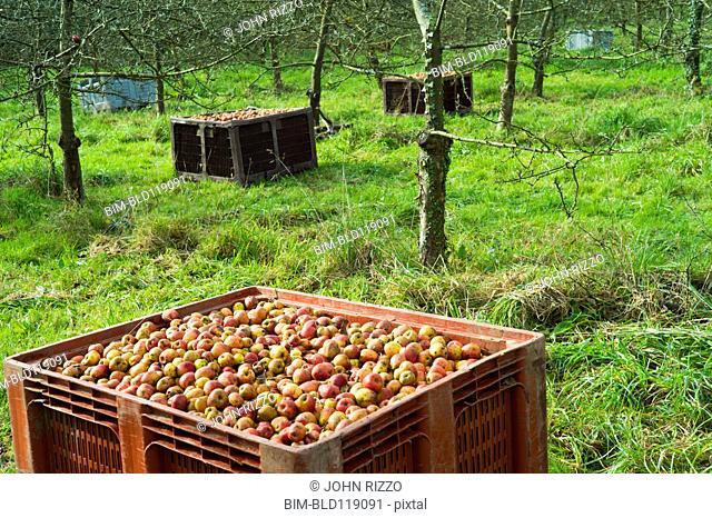 Barrels of fruit in orchard