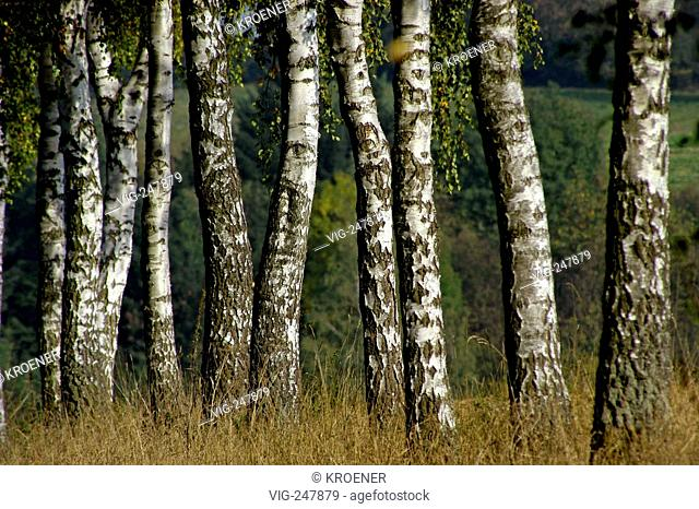 GERMANY, 16.10.2005, Birch trees. - Bad Wimpfen, GERMANY, 16/10/2005