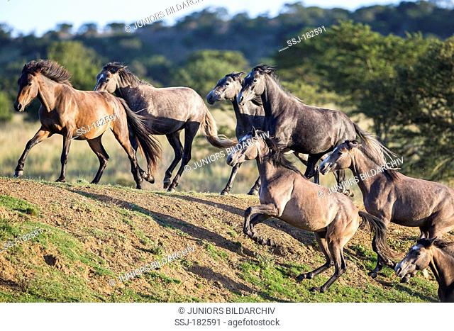 Nooitgedacht Pony. Mares galloping up a slope. South Africa