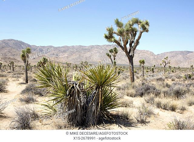 Joshua Tree National Park is home to its iconic namesake tree, as well as a range of sage and cactus found only in the desert