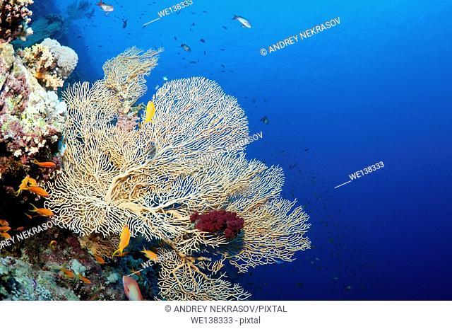 coral reef in Ras Muhammad National Park, Sinai Peninsula, Sharm el-Sheikh, Red sea, Egypt, Africa