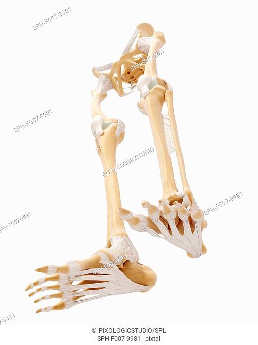 Human leg bones, computer artwork