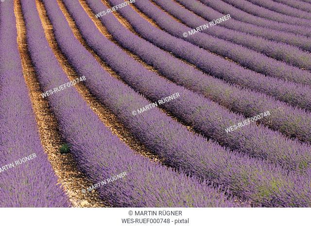 France, Mediterranean Area, Plateau De Valensole, Valensole, View of lavender field