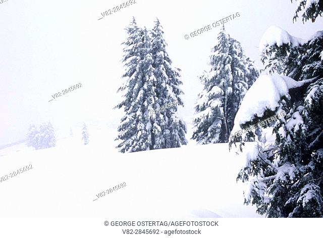 Mountain hemlock in winter at Timberline, Mt Hood National Forest, Oregon