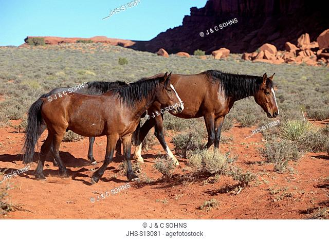 Mustang, Equus caballus, Monument Valley, Utah, USA, Northamerica, two adults