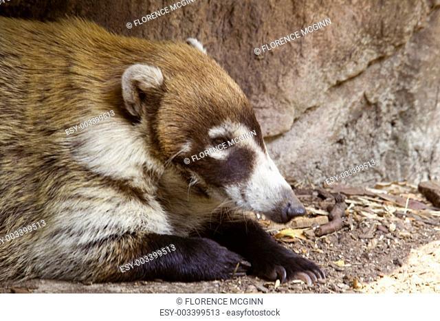 Relaxed Coati