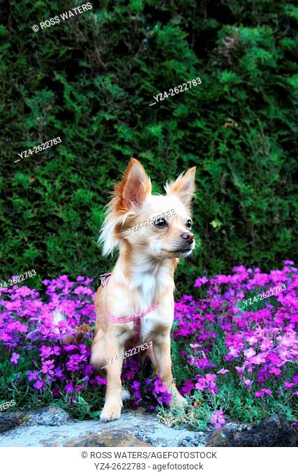 A chihuahua outdoors in a garden
