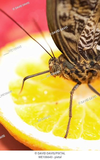 Owl Butterfly Caligo species feeding on cut fruit orange Native to Central South America