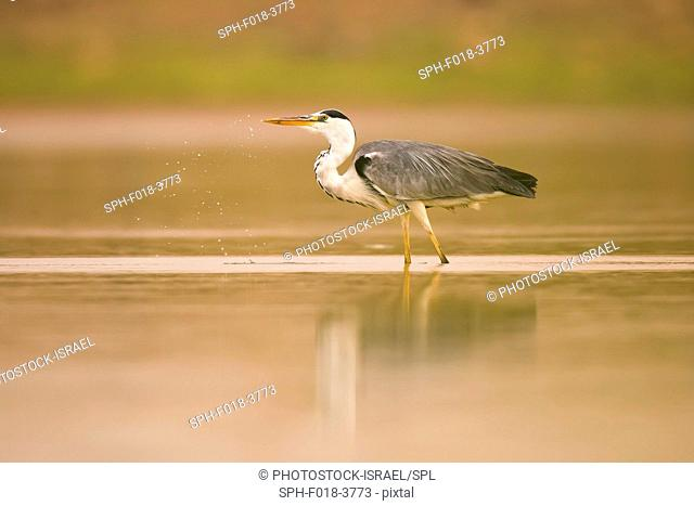 Grey heron (Ardea cinerea) standing in a pond. This large bird hunts in lakes, rivers and marshes, catching fish or small animals with a darting strike of its...