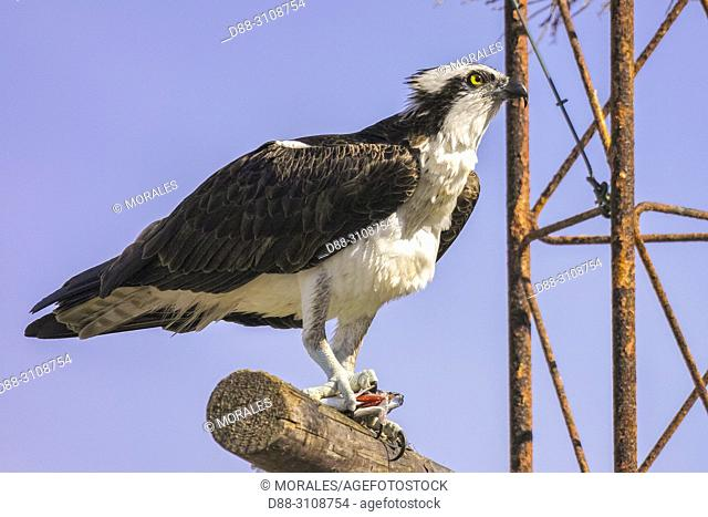 Central America, Mexico, Baja California Sur, Guerrero Negro, Ojo de Liebre Lagoon (formerly known as Scammon's Lagoon), Osprey (Pandion haliaetus), adult