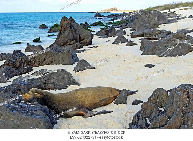 Galapagos Sea lion (zalophus californianus wollebaeki) sleeping on beach, Espanola Island, Galapagos Islands, Ecuador, South America