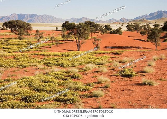 Namibia - Sand dunes with camelthorn trees Acacia erioloba and isolated mountain ridges at the edge of the Namib Desert  In March during the rainy season with...