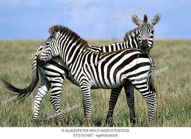 Two Zebra (Equus quagga boehmi) standing close together. Masai Mara. Kenya