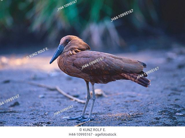 Hamerkop, Scopus umbretta, Scopidae, bird, animal, Krüger, National Park, South Africa