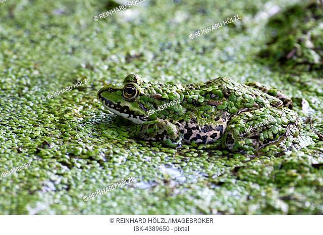 The edible frog (Rana esculenta) duckweed, water, Burgenland, Austria
