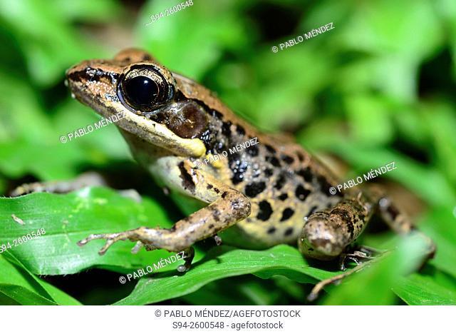 Dark-sided frog (Sylvirana nigrovittata) on leaves in Wat Phra Singh, Chiang Mai, Thailand