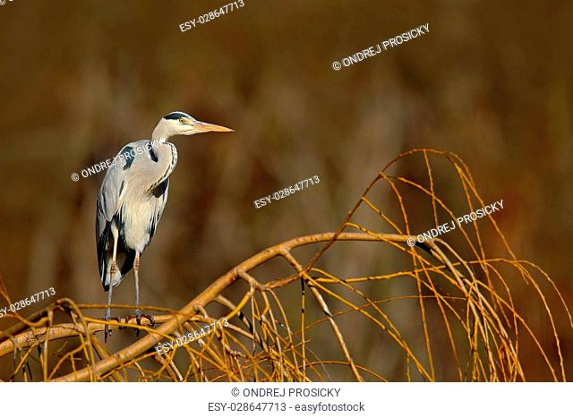 Grey heron sitting in the green branch of willow tree, Czech rep