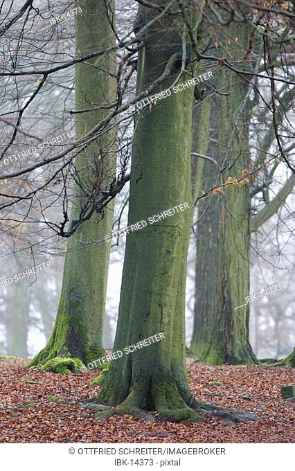 Old beech trees in a autumnal forest