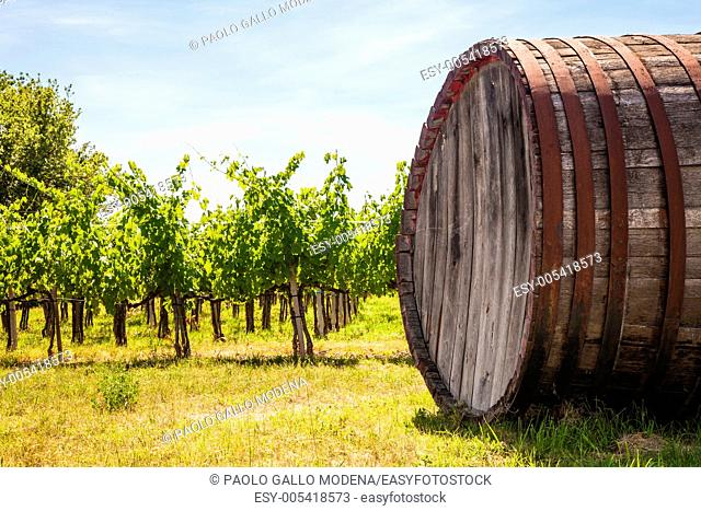 Italy, Tuscany region, Chianti area  Chianti wineyard during a sunny day of summer
