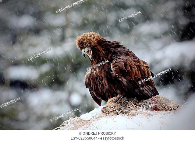 Golden Eagle in snow with kill hare