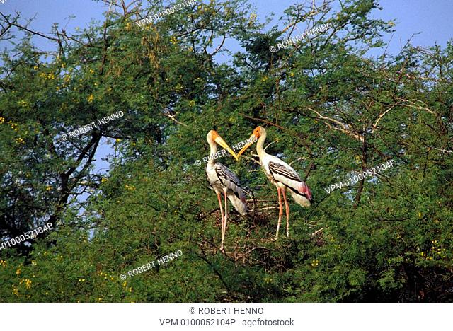 MYCTERIA LEUCOCEPHALUS - IBIS LEUCOCEPHALUSPAINTED STORK - PAINTED WOOD-STORKPAIR ON NESTBHARATPUR NP - INDIANEAR THREATENED