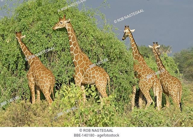 Four Reticulated Giraffes