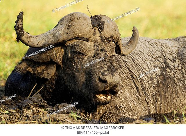 Cape Buffalo (Syncerus caffer caffer), bull enjoying a mud hole, Chobe National Park, Botswana